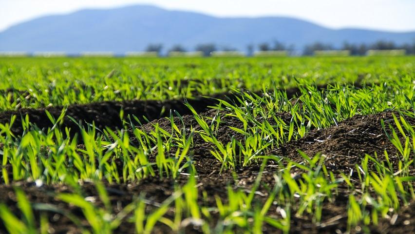 Wheat110716