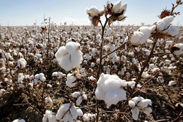 cotton seeds standards