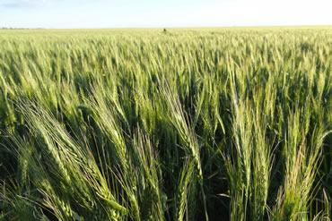 barley standards