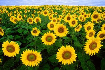 sunflower standards