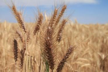 wheat standards
